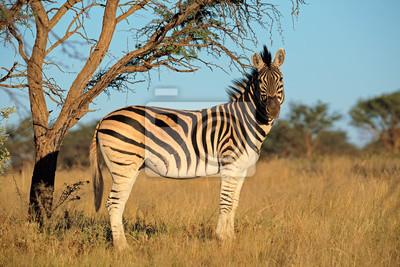 A plaines (Burchells) Zebra (Equus burchelli) dans un habitat naturel, l'Afrique du Sud.