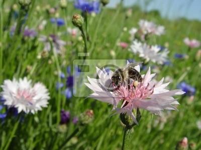 abeille sur un bleuet