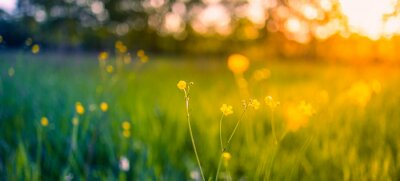 Image Abstract soft focus sunset field landscape of yellow flowers and grass meadow warm golden hour sunset sunrise time. Tranquil spring summer nature closeup and blurred forest background. Idyllic nature