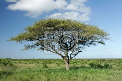 acacia africain