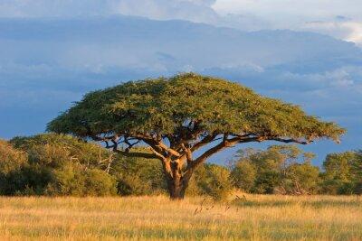 Acacia africains arbre, parc national de Hwange, au Zimbabwe