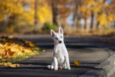Image Adorable, husky, chiot, séance, dehors, automne
