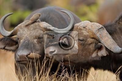 Afrique ou du Cap-buffles, le parc national Kruger, en Afrique du Sud