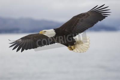 Image Alaskan Bald Eagle survolant l'eau avec des montagnes en arrière-plan