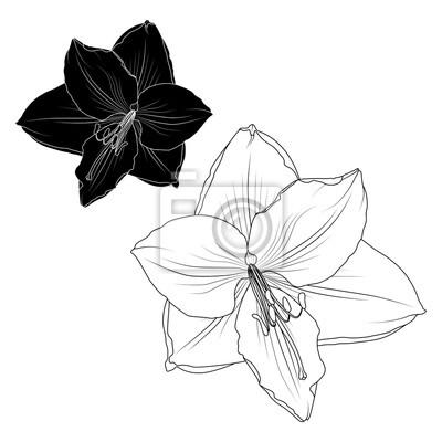 Image Amaryllis Hippeastrum Lilly Fleur élément Isolé Noir Et Blanc