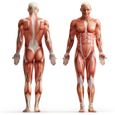 Image Anatomie, muscles