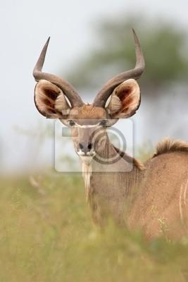 Antilope koudou, Kruger N / P, l'Afrique du Sud