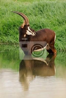 Antilope Sable (Hippotragus Niger)