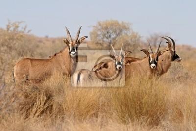 antilopes-cheval