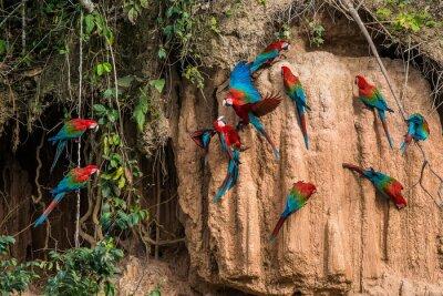 Image aras dans collpa dans la jungle amazonienne péruvienne à Madre de Di