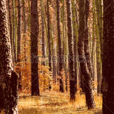 Image automne doré fantastique dans la forêt de pins plantes orange vif troncs de grands arbres et personne autour de la beauté de notre monde