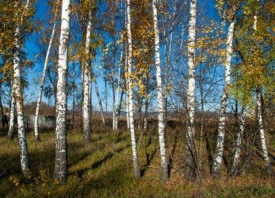 Image Automne, paysage, bouleaux