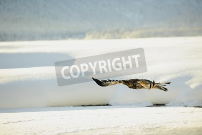 Image Bald Eagle flying against snow-covered mountains of Alaska  Sunset