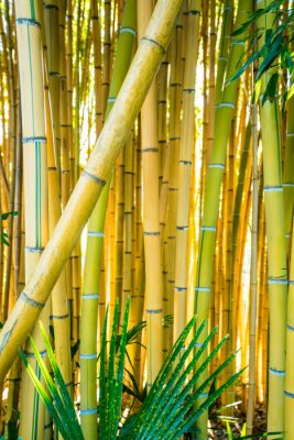 Image Bamboo forest. Natural background. bamboo plant