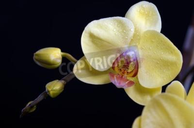 Image Beau, coloré, fleur, orchidée, phalaenopsis, noir, fond