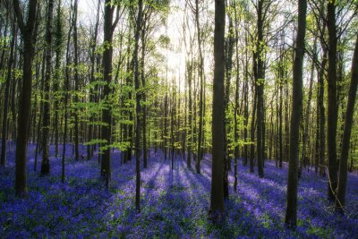 Image Beau matin de printemps forêt jacinthe avec le soleil poutres throu