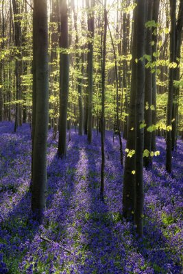 Image Beautiful morning in Spring bluebell forest with sun beams throu