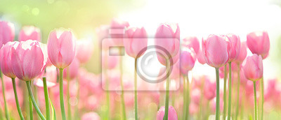 Image beautiful pink Tulip on blurred spring sunny background. bright pink tulip flower background for spring or love concept. beautiful natural spring scene, texture for design, copy space. banner