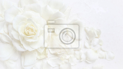 Image Beautiful white rose and petals on white background. Ideal for greeting cards for wedding, birthday, Valentine's Day, Mother's Day