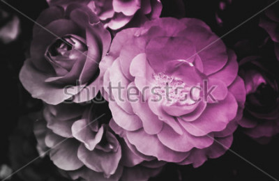 Image Belle fleur rose qui fleurit. La photo montre un buisson de fleurs de rose sauvage éclatant et délicat. Gros plan, vue macro. Noir et blanc