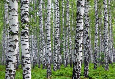 Image belle forêt de bouleaux d'été
