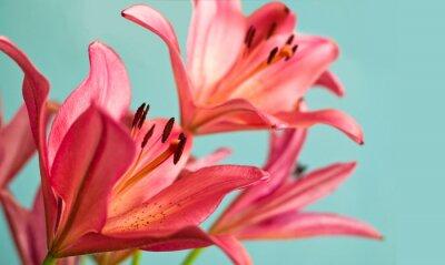 Image Belle Lys roses fond