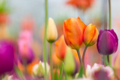 Image Belle vue de tulipes colorées.