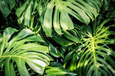 Image Belles feuilles tropicales vertes Monstera