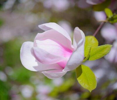 Image Belles fleurs roses de magnolia. Printemps