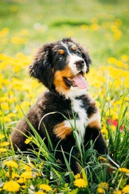 Image Bernese, montagne, chien, ou, Berner, Sennenhund, chiot, séance, vert