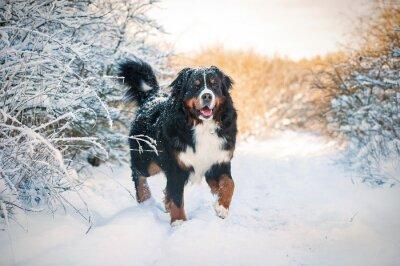 Image Bernois, montagne, chien, promenade, hiver