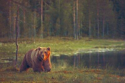 Image BIG BEAR marche mâle dans la tourbière au coucher du soleil
