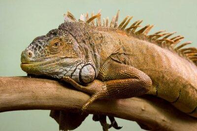 Image Big lézard endormi sur la branche close-up, fond isolé