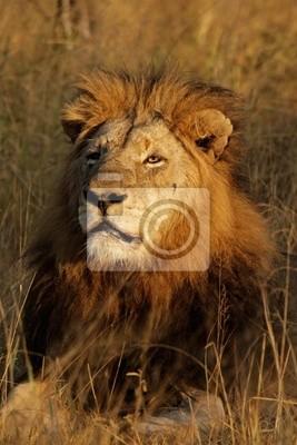 Big mâle lion d'Afrique (Panthera leo)