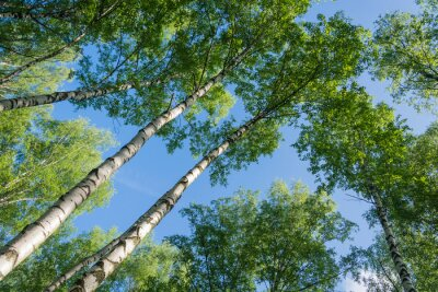 Image Birch contre le ciel.