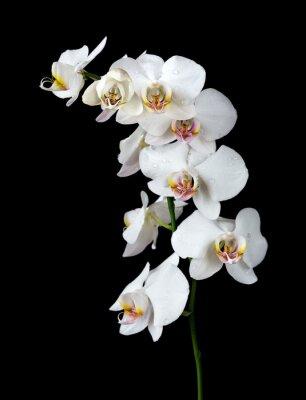 Image Blanc, orchidée, noir, fond