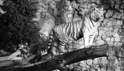 Image Blanc, tigre, debout, log, dépassement, vide (blanc,