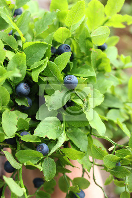 bleuets brousse