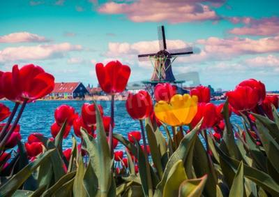 Image Blossom tulipes dans le village hollandais avec des moulins à vent célèbres. Printemps matin ensoleillé sur les canaux néerlandais. Instagram tonifiant.