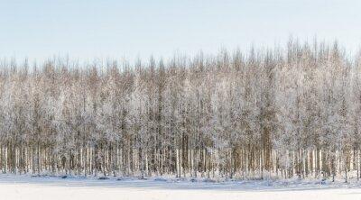 Image Bouleaux hivernaux en Finlande