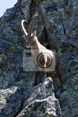 Bouquetin des Alpes chèvre sauvage vit dans les montagnes de l'Europe