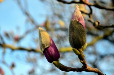 Image bourgeons magnolia