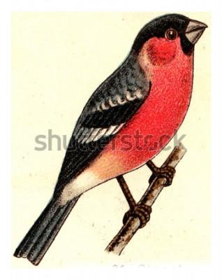 Image Bouvreuil, illustration gravée vintage. De l'atlas des oiseaux de l'Europe de l'Europe.