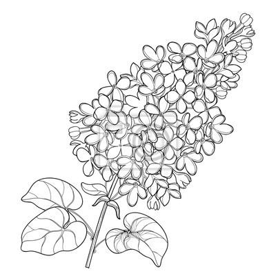 Image Branche De Vecteur Avec Contour Bouquet De Fleurs Lilas Ou Syringa