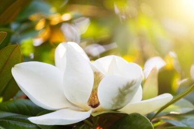 Image Branche, fleur, blanc, magnolia, fin, haut