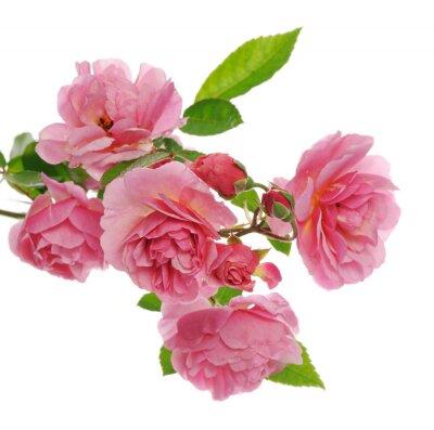 Image Branche, rose, escalade, rose