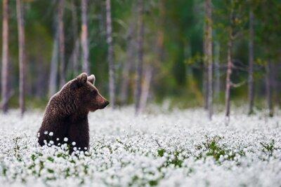 Image Brown bear between cotton grass
