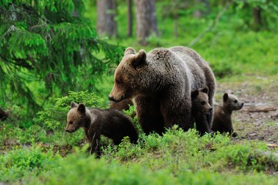 Image Brown bear with cubs in the forest