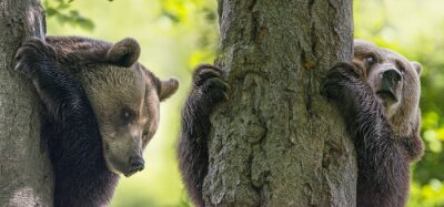 Image Brun, ours, Arbres