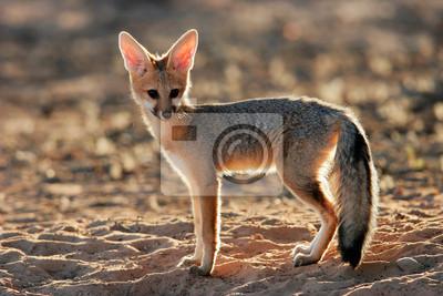 Cap renard (Vulpes chama), le désert du Kalahari, en Afrique du Sud